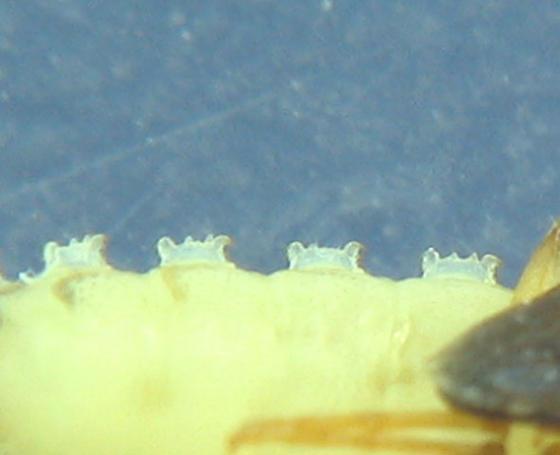 J larvae pupa - Mycetochara binotata