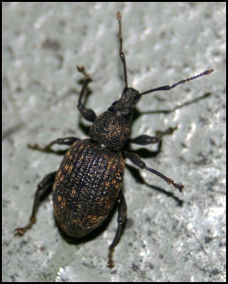 Weevil from Boston - Otiorhynchus sulcatus