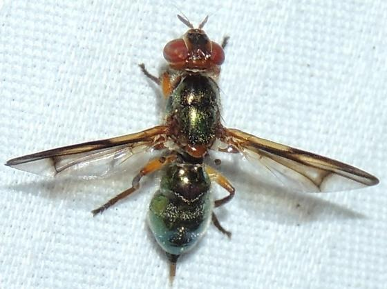 Green Metallic Fly - Senopterina