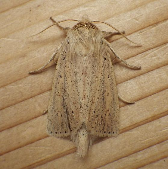 Noctuidae: Capsula oblonga - Globia oblonga