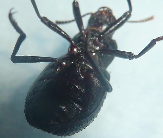 unknown beetle - Cibdelis