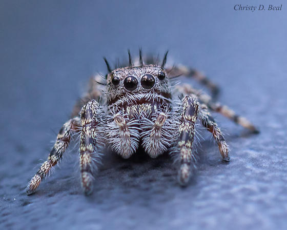 What kind of jumping spider? - Phidippus putnami