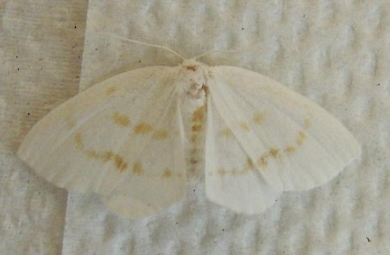 Eudeilinia luteifera - Eudeilinia herminiata