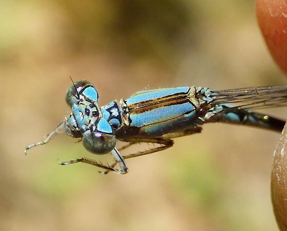 Enallagma traviatum - Slender Bluet - Enallagma traviatum