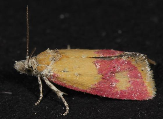 Pink micromoth - Atroposia oenotherana