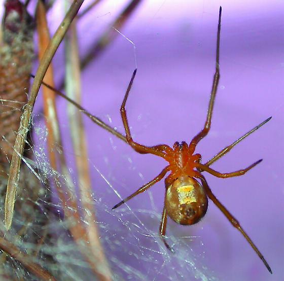 Latrodectus bishopi - female