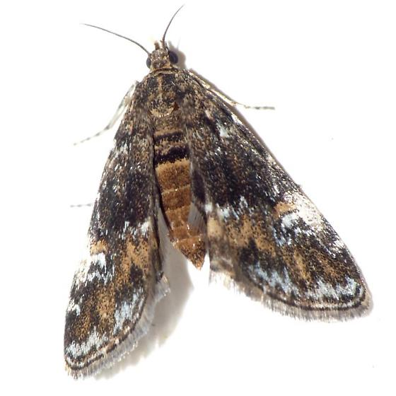 Crambid - Elophila obliteralis