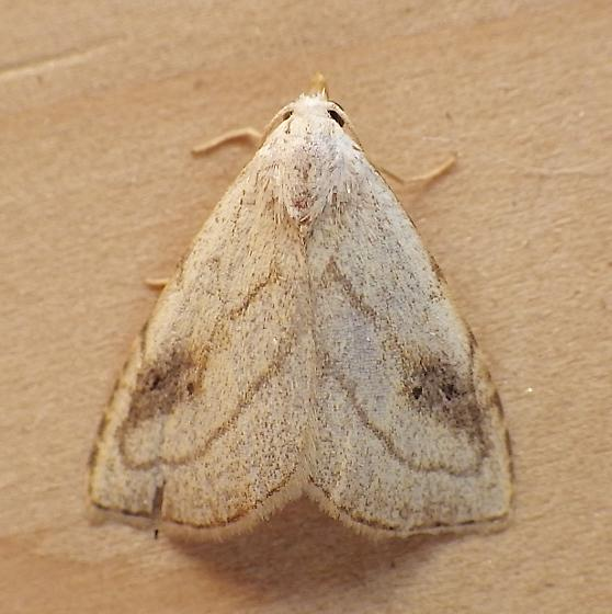 Noctuidae: Rivula propinqualis - Rivula propinqualis
