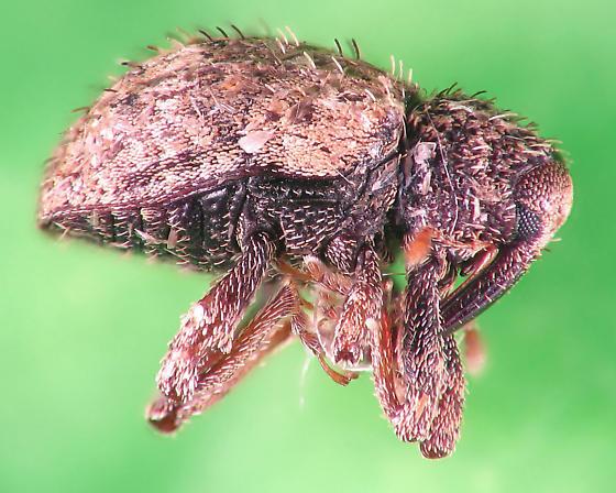 weevil night - weevil #2 - Pheloconus hispidus