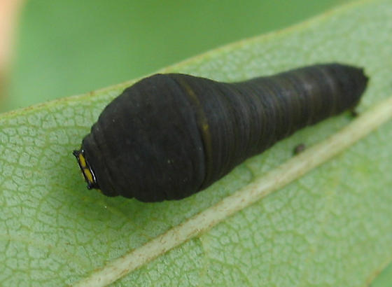 Zebra Swallowtail Caterpillar - Eurytides marcellusZebra Swallowtail Caterpillar