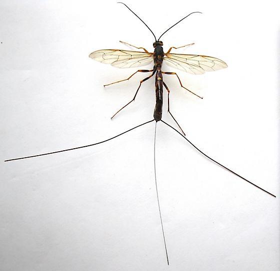 Giant Ichneumon - Megarhyssa nortoni - female