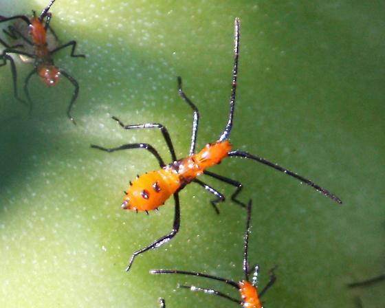 Assassin Bug I think! - Leptoglossus