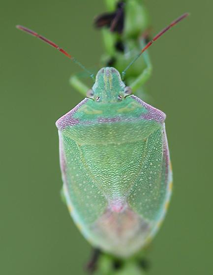 Pinkish stink bug - Thyanta
