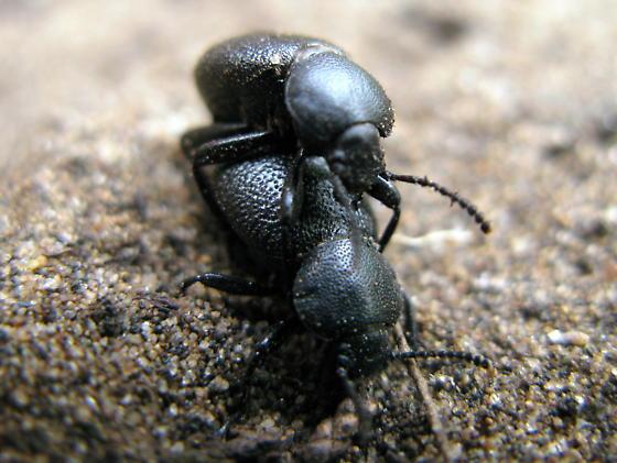 Carab Beetles? - Eleodes
