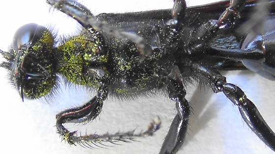 All-Black Thread-waisted Wasp - Prionyx - female