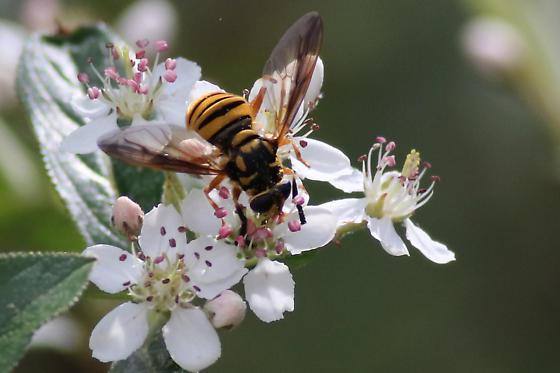 Syrphid nectaring on Arobia arbutifolia, Carolina Sandhills NWR - Temnostoma daochus