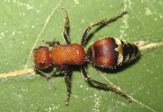 what species? - Timulla dubitata - female
