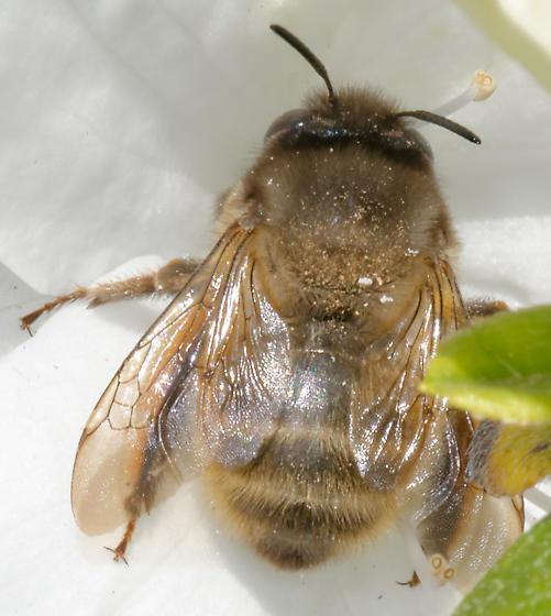 unidentified bee - Anthophora villosula