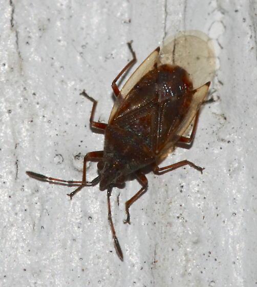 Plant Bug - Kleidocerys resedae