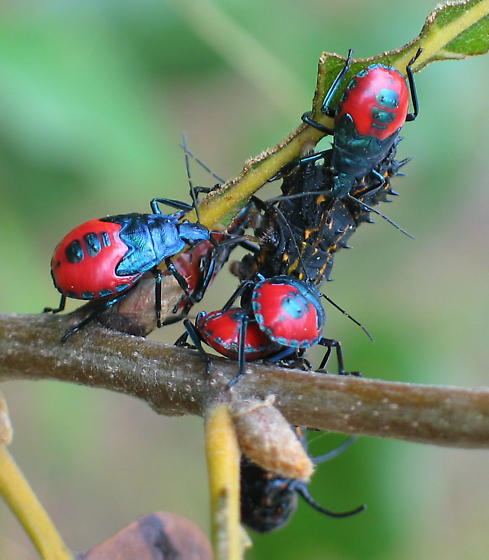 Florida Predatory Stink Bug nymphs with prey - Euthyrhynchus floridanus