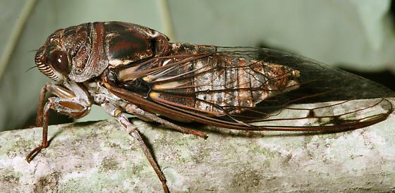 Tibicen figuratus side view - Megatibicen figuratus - male