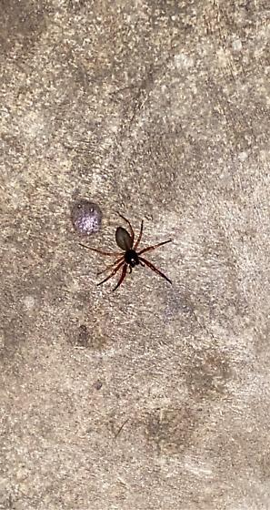 Unknown Spider - Trachelas tranquillus
