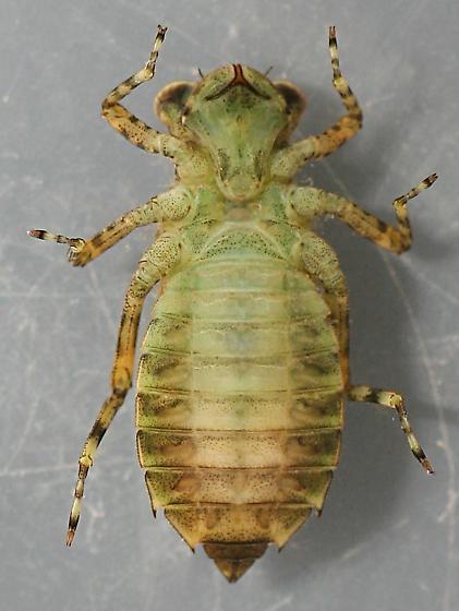 Brechmorhoga naiad - voucher specimen, in alcohol - Brechmorhoga