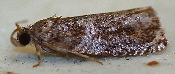 Unknown Moth - Olethreutes appendiceum