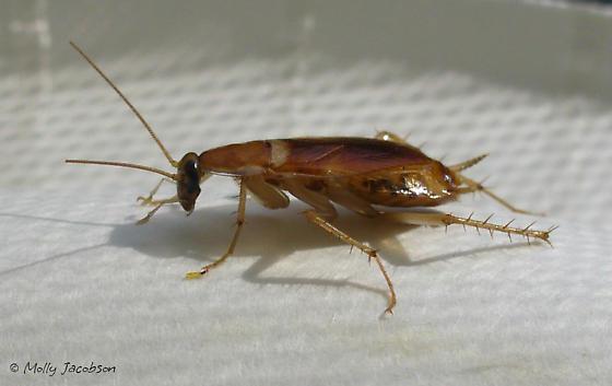 Brown-banded Cockroach - Supella longipalpa - female