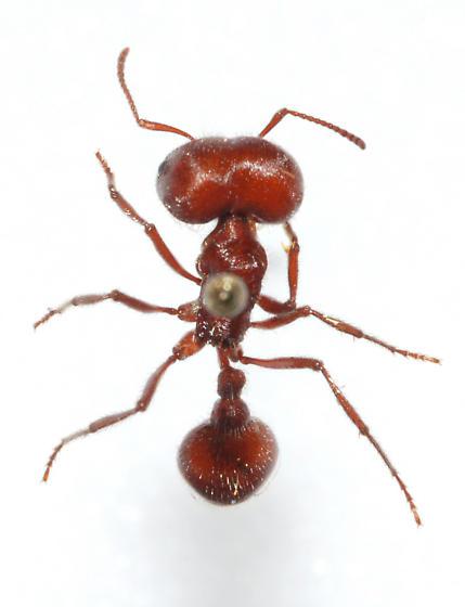 Bigheaded Ant - Pheidole megacephala - Pogonomyrmex badius