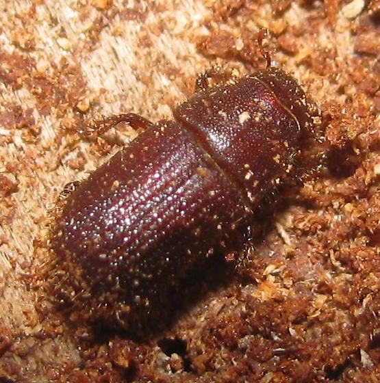 Pine tree beetle - Dendroctonus