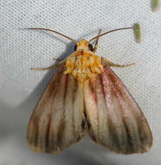 Moth - Eulithosia plesioglauca