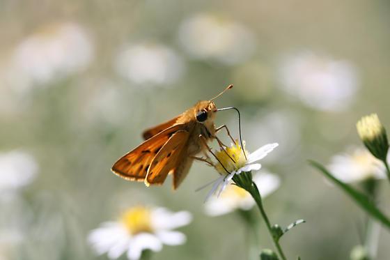 Fiery Skipper (Hylephila phyleus)? - Hylephila phyleus