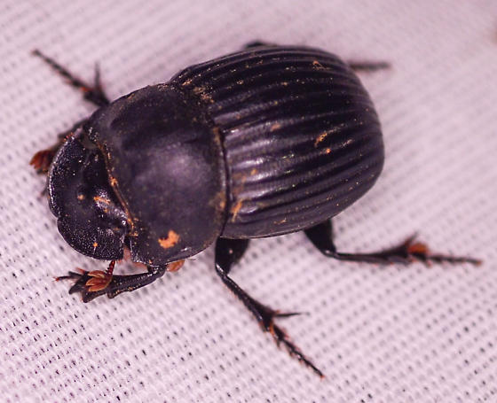 dung beetle Dichotomius? - Copris