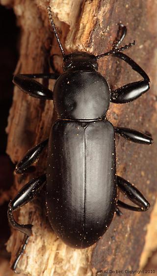 Darkling Beetle - Merinus laevis