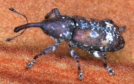 Eastern Pine Weevil - Pissodes nemorensis