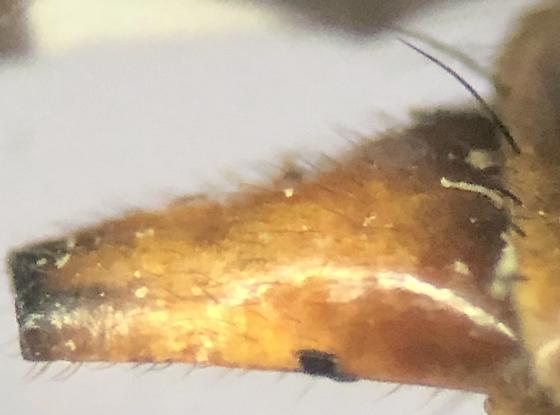 Stenopa affinis - female