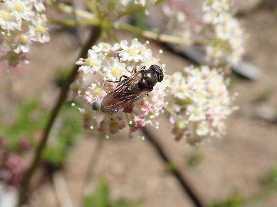 Possible Genus Cheilosia - Cheilosia