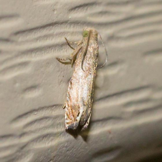 Phaneta moth? - Epiblema strenuana