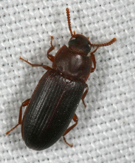 Ground Beetle - Cynaeus angustus