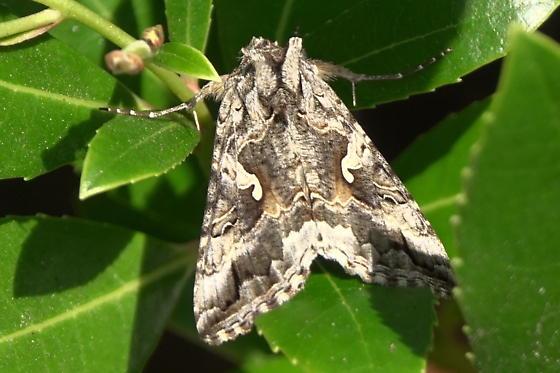 Alfalfa Looper Moth (Autographa californica) - Autographa californica