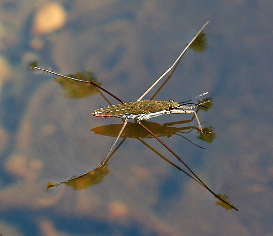 Water Strider - Aquarius remigis