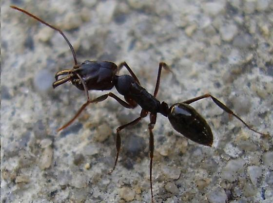 Ant - Odontomachus