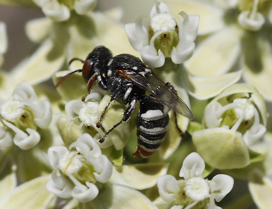 unknown wasp  - Oxybelus