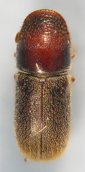 Scolytini #6 - Pseudopityophthorus pruinosus