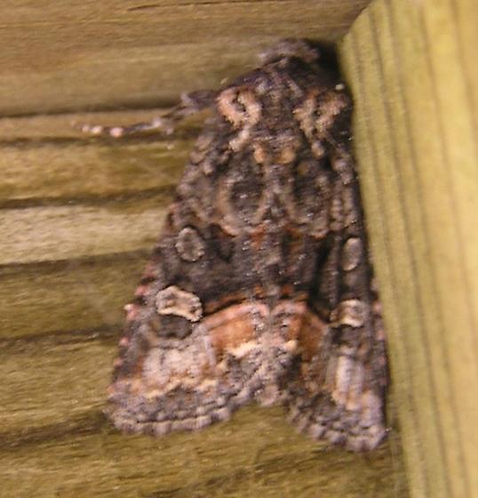 Pink and brown moth, 11:46am - Lacinipolia davena