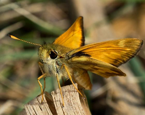 ID this moth? - Poanes taxiles - male