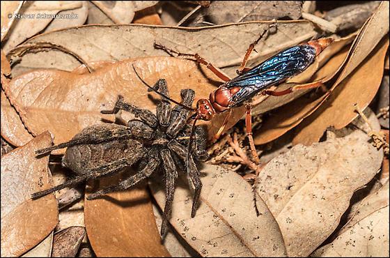 Wasp Dragging Spider - Tachypompilus ferrugineus - female