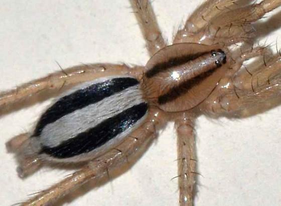 Tiny spider - Cesonia bilineata