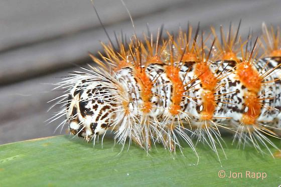 Cattail Caterpillar - Acronicta insularis